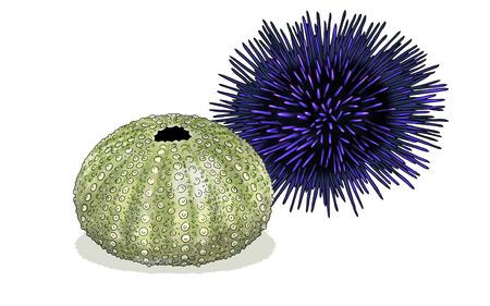 Digital watercolor of a sea urchin