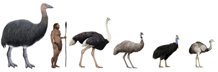 Digital illustration of Flightless large birds comparation vs human
