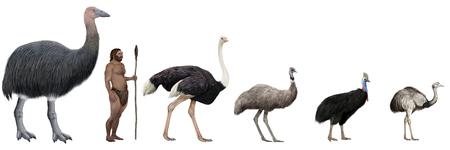 beack: Digital illustration of Flightless large birds comparation vs human