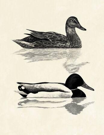 Digital illustration of a couple of Mallards