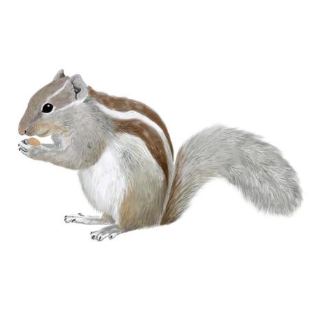 Digital illustratoion of an Indian squirrel 版權商用圖片