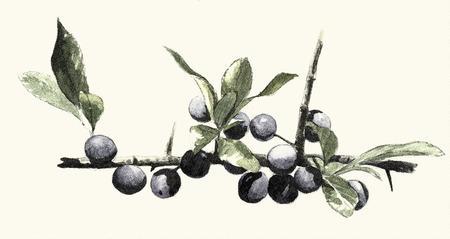 Botanical digital engraved illustration Stock Photo