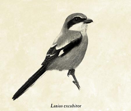 Digital illustration of a Great grey shrike 版權商用圖片
