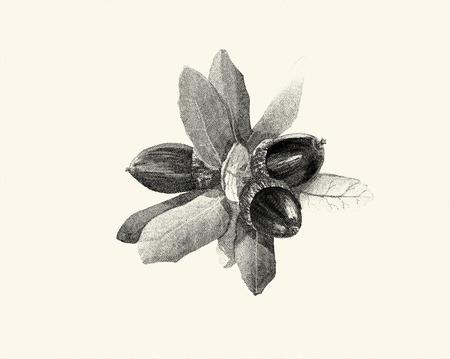 Botanical digital engraved illustration oak