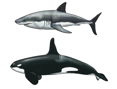 Digital watercolor of a killer whale comparison with a white shark