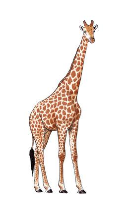 Digital illustration made with tablet of an African giraffe 版權商用圖片