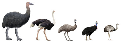 ratite: Digital illustration of Flightless large birds comparation Stock Photo