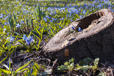 A little blue flower in stump on a background of first spring wild flowers during the