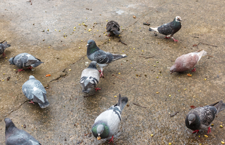 City pigeons eat bread on wet cracked concrete after rain. Many pigeons are eating bread on the stone street surface 版權商用圖片