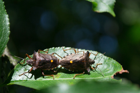 Stink bugs during mating Reklamní fotografie