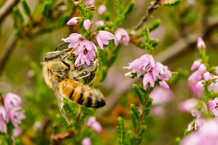 Bee collects heather honey