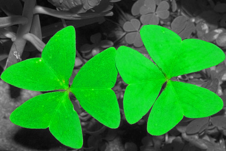sour clover: Two clovers and a color