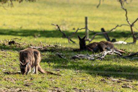 Lazy kangaroos Stock Photo