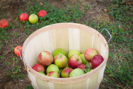 Apples in a basket from apple picking