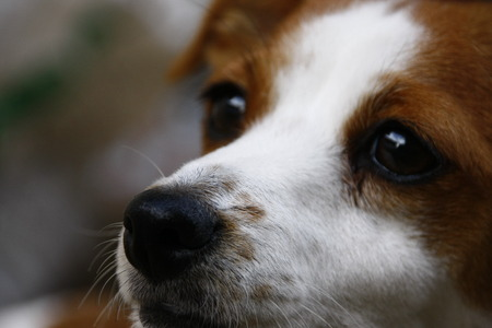 nose: A Jack Russells Nose Stock Photo
