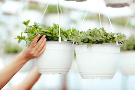 Greenhouse Worker Hands Caring for Plants Stock Photo