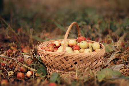 Freshly picked apples from the orchard gathered in a basket