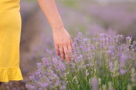 Hand Touching Flowers in Lavender Field in Summer