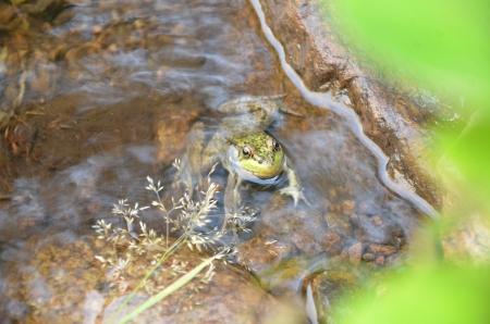 カエルの水で 写真素材