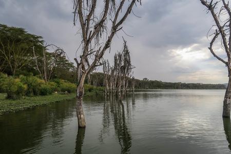 Lake with tree and birds in Kenya, Africa 版權商用圖片