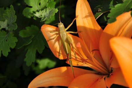 grasshopper on a flower photo