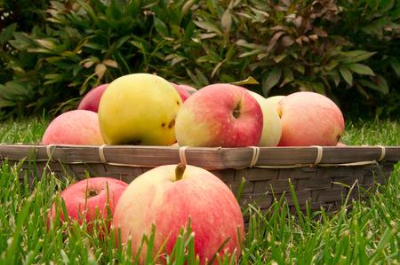 bushel: basket with apples