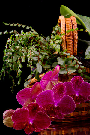 ferns and orchids: beautiful burgundy orchid in a wicker basket with a fern on a black background