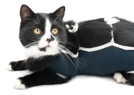 sterilization: a special costume for a cat after sterilization Stock Photo
