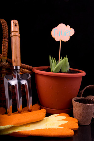 peat pot: germinated tulips, basket, rakes and peat pot with soil for planting on a black background
