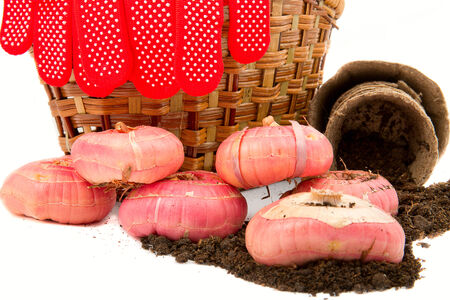 wicker work: gladiolus bulbs with a basket, gloves, rope, peat pots and soil on a white background closeup
