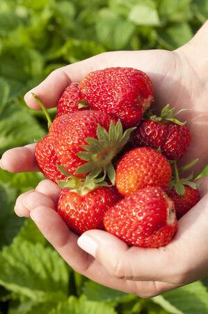 subsistence: harvest ripe strawberries in the garden Stock Photo