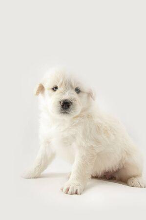 animalitos tiernos: blanco peludo perrito lindo del pastor de Rusia del Sur