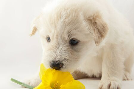 played: white puppy South Russian Shepherd played with narcissus flower
