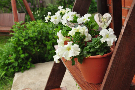 petunias: petunia in the garden