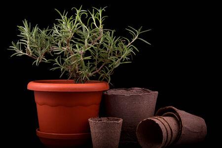 turba: romero arbustos y macetas de turba en un fondo negro