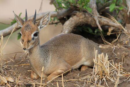tanzania antelope: Little hartebeest
