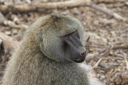 baboon: African baboon Stock Photo