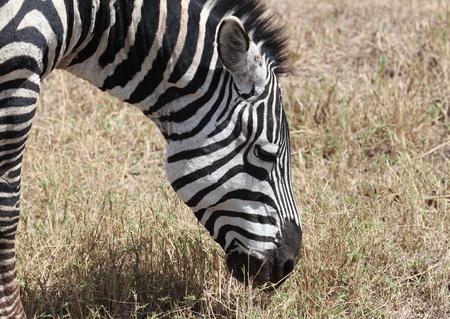 zebra face: Zebra, Tanzania Stock Photo