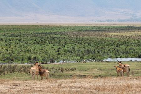 tanzania antelope: Hartebeests in the savanna, Tanzania