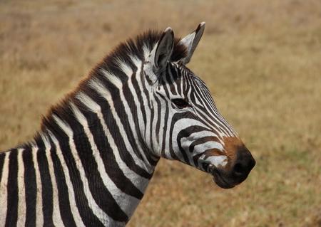 zebra face: African zebra Stock Photo