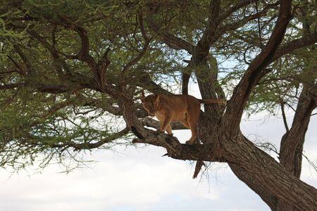 tanzania: Lion on tree, Tanzania Stock Photo