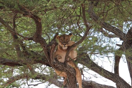 observing: Lion observing on tree Stock Photo