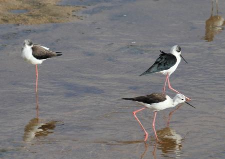 water birds: African water birds