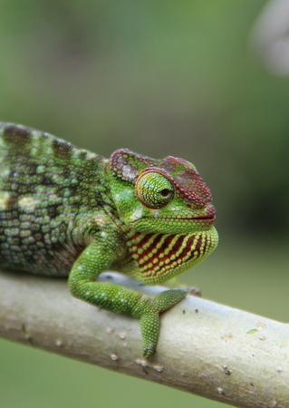 protruding eyes: African chameleon