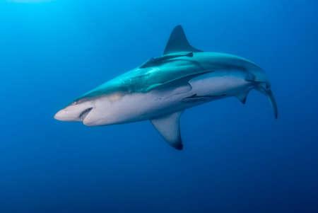 Oceanic black tip shark swimming in the blue