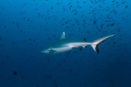 Carcharhinus amblyrhynchos (gray reef shark) getting away among a school of fishes