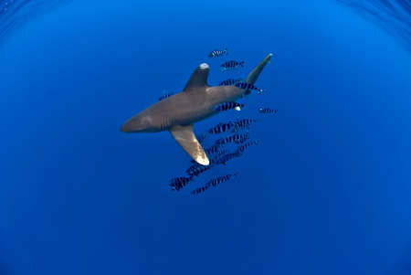 Oceanic white tip shark or longimanus swimming in the blue, with a school of pilot fishes. Lot of negative space for designs.