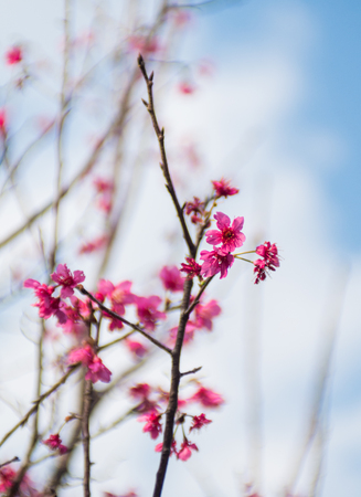 Cherry Blossom growing on a branch close up view Stock Photo