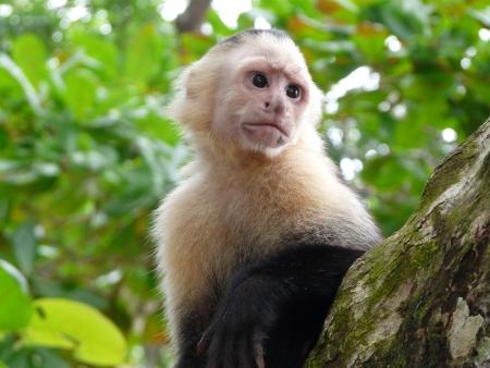 White-faced capuchin monkey, national park of Cahuita, Caribbean, Costa Rica Stok Fotoğraf