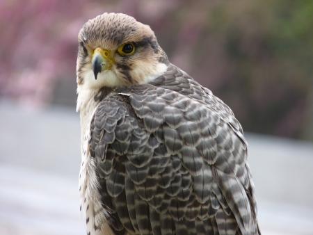 lanner: Peregrine Falcon